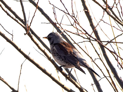 Fieldfare Stephen Root