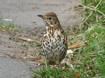 Song thrush-Stephen Root
