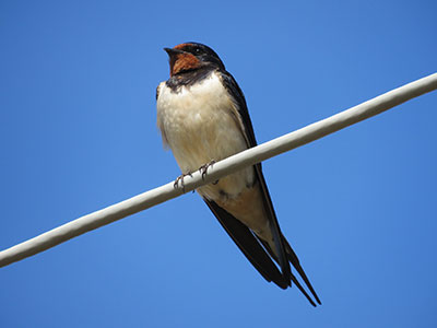 Swallow Stephen Root